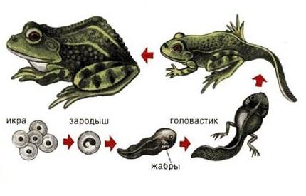 стадия развития лягушки