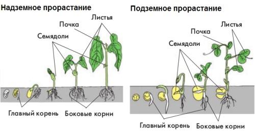 запасенные в семени